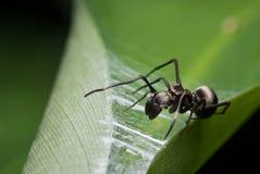 μιμητική αράχνη μυρμηγκιών Στοκ Φωτογραφία
