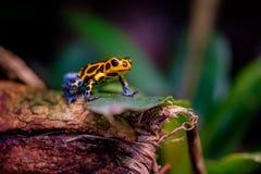 Μιμητικός βάτραχος δηλητήριων, βάτραχος βελών δηλητήριων στοκ φωτογραφία με δικαίωμα ελεύθερης χρήσης