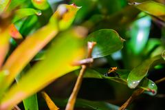 Μιμητικός βάτραχος δηλητήριων στοκ εικόνες