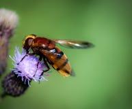 Μιμητικό hoverfly Hornet Στοκ εικόνες με δικαίωμα ελεύθερης χρήσης
