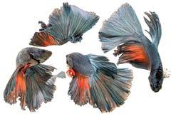 Μισά φεγγαριών ψάρια πάλης betta σιαμέζα στοκ φωτογραφίες με δικαίωμα ελεύθερης χρήσης