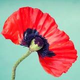 Μισό κόκκινο λουλούδι παπαρουνών Στοκ Φωτογραφίες