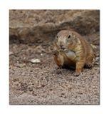 Μισό ψηφιολέξης επίγειος σκίουρος στοκ φωτογραφία με δικαίωμα ελεύθερης χρήσης