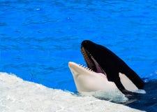 Μιλώντας φάλαινα δολοφόνων Στοκ εικόνα με δικαίωμα ελεύθερης χρήσης