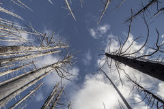 Μμένα δέντρα πυρκαγιών †«στο δάσος στις ΗΠΑ Στοκ φωτογραφία με δικαίωμα ελεύθερης χρήσης