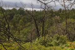 Μμένα δέντρα στο δάσος των βαλανιδιών Στοκ φωτογραφία με δικαίωμα ελεύθερης χρήσης