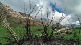 Μμένα δέντρα μετά από τα βουνά μιας πυρκαγιάς την άνοιξη σε Καλιφόρνια στο timelapse 4K απόθεμα βίντεο