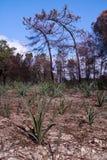 Μμένα δέντρα πεύκων στοκ φωτογραφία με δικαίωμα ελεύθερης χρήσης