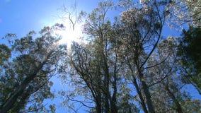 Μμένα δέντρα στις σειρές Dandenong, Αυστραλία απόθεμα βίντεο