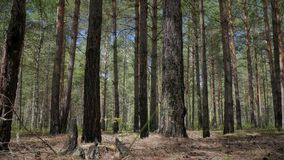 Μμένα πεύκα στο δάσος φιλμ μικρού μήκους