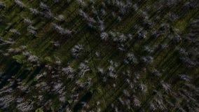 Μμένα treetops τεφρών μετά από την πυρκαγιά στην πράσινη χλόη απόθεμα βίντεο