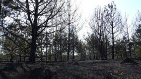 Μμένοι δάσος και τομέας μετά από την πυρκαγιά, μαύρο έδαφος, τέφρες, καπνός, επικίνδυνος καιρός έλξης, οικολογική καταστροφή απόθεμα βίντεο