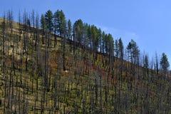 Μμένος μαύρος πράσινος κορμών δέντρων δασικής πυρκαγιάς Στοκ Φωτογραφία