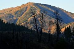 Μμένος μαύρος πράσινος κορμών δέντρων δασικής πυρκαγιάς Στοκ φωτογραφία με δικαίωμα ελεύθερης χρήσης