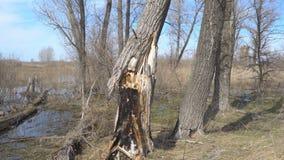 Μμένος ξηρός κορμός δέντρων απόθεμα βίντεο