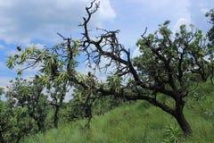 Μμένος resprouter κορμός δέντρων στο βασιλικό γενέθλιο δασικό πράσινο τομέα χλόης Στοκ Φωτογραφία