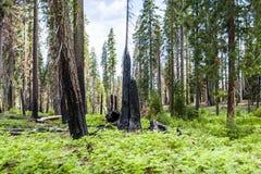 Μμένο γιγαντιαίο sequoia giganteum Sequoiadendron δέντρων Sequoia εθνικό Στοκ Εικόνα