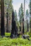 Μμένο γιγαντιαίο sequoia giganteum Sequoiadendron δέντρων Sequoia εθνικό Στοκ Φωτογραφίες