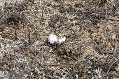 Μμένο κοχύλι pomatia ελίκων (Burgundy σαλιγκάρι, ρωμαϊκό σαλιγκάρι, εδώδιμο σαλιγκάρι, escargot) Στοκ Φωτογραφία
