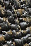 Μμένο πεύκο Στοκ φωτογραφίες με δικαίωμα ελεύθερης χρήσης