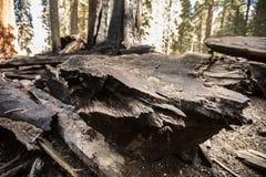 Μμένο Sequoias Sequoia εθνικό πάρκο Στοκ εικόνες με δικαίωμα ελεύθερης χρήσης