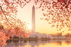Μνημείο της Ουάσιγκτον κατά τη διάρκεια του φεστιβάλ ανθών κερασιών στοκ εικόνα