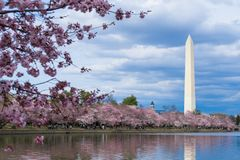 Μνημείο της Ουάσιγκτον κατά τη διάρκεια του φεστιβάλ ανθών κερασιών στην παλιρροιακή λεκάνη, Washington DC στοκ εικόνες