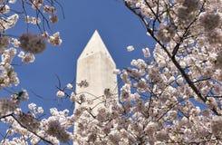 Μνημείο της Ουάσιγκτον με τα δέντρα κερασιών στο μέτωπο Στοκ φωτογραφία με δικαίωμα ελεύθερης χρήσης