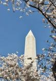 Μνημείο της Ουάσιγκτον με τα δέντρα κερασιών στο μέτωπο Στοκ Εικόνα