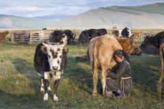 Μογγολική γυναίκα που αρμέγει μια αγελάδα στοκ φωτογραφίες