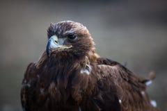 Μογγολική χρυσή επικεφαλής κινηματογράφηση σε πρώτο πλάνο αετών Φύση Στοκ φωτογραφία με δικαίωμα ελεύθερης χρήσης