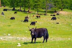 Μογγολικά yak στο κοπάδι Στοκ φωτογραφία με δικαίωμα ελεύθερης χρήσης