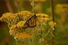 μονάρχης λουλουδιών πεταλούδων κίτρινος Στοκ Εικόνες
