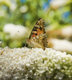 μονάρχης πεταλούδων θάμνω&nu Στοκ φωτογραφίες με δικαίωμα ελεύθερης χρήσης