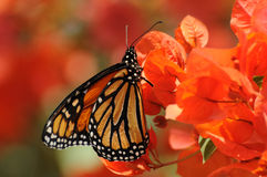 μονάρχης πεταλούδων Στοκ φωτογραφία με δικαίωμα ελεύθερης χρήσης