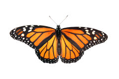 μονάρχης πεταλούδων στοκ εικόνες