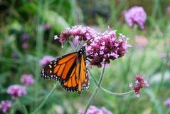 μονάρχης πεταλούδων Στοκ εικόνα με δικαίωμα ελεύθερης χρήσης
