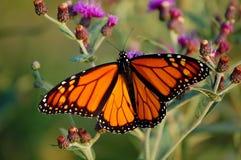 μονάρχης πεταλούδων στοκ εικόνα