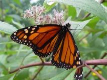 μονάρχης πεταλούδων Στοκ εικόνες με δικαίωμα ελεύθερης χρήσης