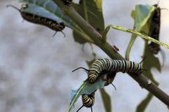 Μονάρχης Caterpillar που τρώει το ζιζάνιο πεταλούδων, τοπίο Στοκ φωτογραφία με δικαίωμα ελεύθερης χρήσης