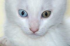 Μοναδικό άσπρο γατάκι με δύο διαφορετικά χρώματα ματιών Στοκ εικόνες με δικαίωμα ελεύθερης χρήσης