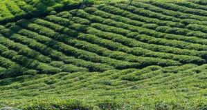 Μοναδικό υπόβαθρο με τα φρέσκα πράσινα φύλλα τσαγιού, λόφος τσαγιού μέρος 32 παραγωγής τσαγιού στοκ φωτογραφίες με δικαίωμα ελεύθερης χρήσης
