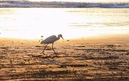 Μοναξιά - σκιαγραφία ενός τσικνιά βοοειδών - πουλί - που περπατά σε μια αμμώδη παραλία Στοκ φωτογραφία με δικαίωμα ελεύθερης χρήσης