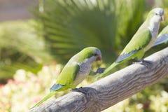 Μοναχός Parakeet (monachus Myiopsitta) Στοκ φωτογραφία με δικαίωμα ελεύθερης χρήσης