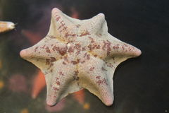 Μοναδική δαντελλωτός κρέμα ψαριών αστεριών και ρόδινο χρώμα Στοκ φωτογραφίες με δικαίωμα ελεύθερης χρήσης