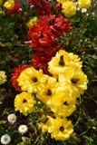 Μοναδική ποικιλία λουλουδιών στο κόκκινο και κίτρινος Στοκ φωτογραφία με δικαίωμα ελεύθερης χρήσης