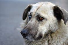 Μοναδικό περιπλανώμενο σκυλί με τα διαφορετικά χρωματισμένα μάτια Στοκ εικόνες με δικαίωμα ελεύθερης χρήσης