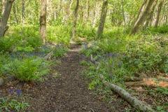 Μονοπάτια που κατατίθενται όμορφα από Bluebells στο πάρκο Fullerton κοντά σε Troon Σκωτία στοκ φωτογραφίες με δικαίωμα ελεύθερης χρήσης