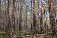 Μονοπάτι στο ξύλο πεύκων Στοκ εικόνα με δικαίωμα ελεύθερης χρήσης