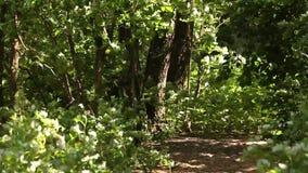 Μονοπάτι στο πράσινο δάσος αλσυλλίων απόθεμα βίντεο